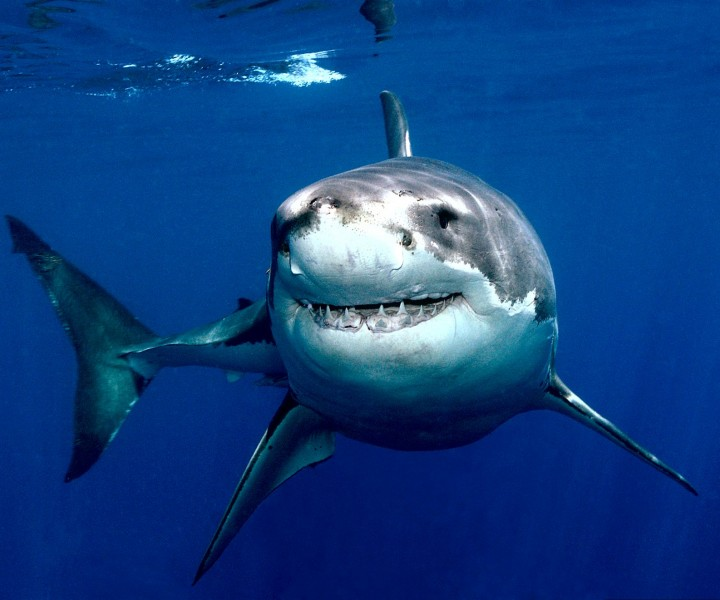 Great White Sharks 360 Video