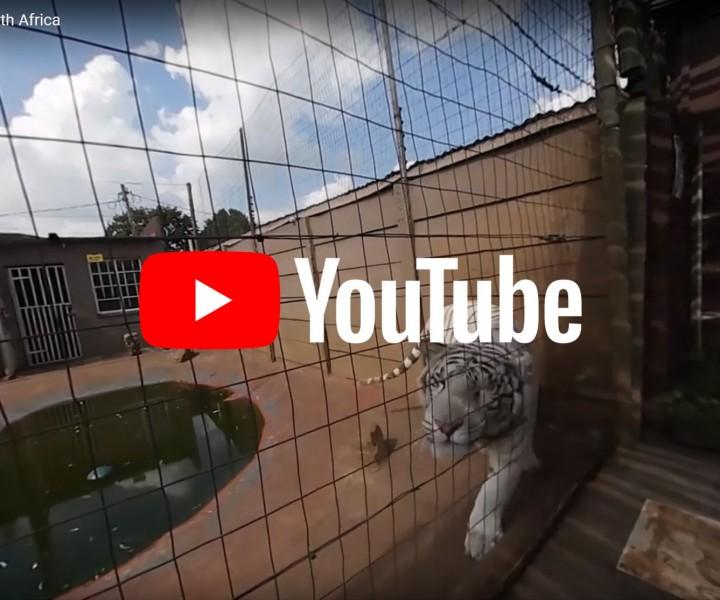 360 video tigers